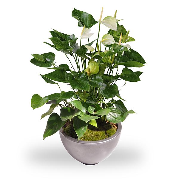 Anthurium blanche en pot